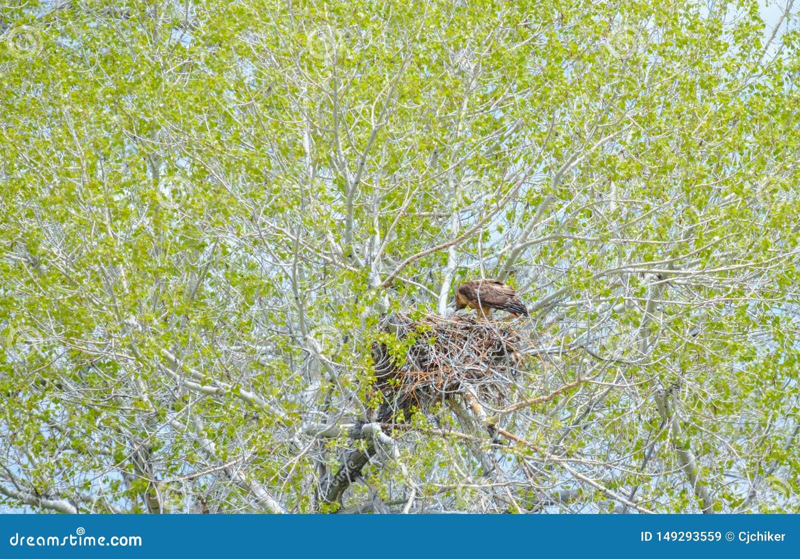 Eagle Mother Feeding Baby Eaglets de oro en jerarqu?a