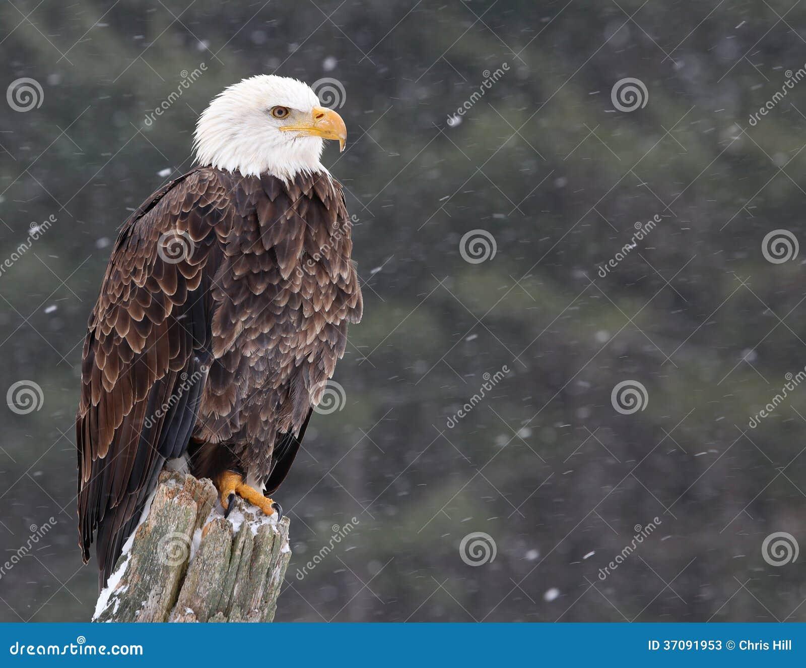 Download Eagle na poczta obraz stock. Obraz złożonej z strażnik - 37091953