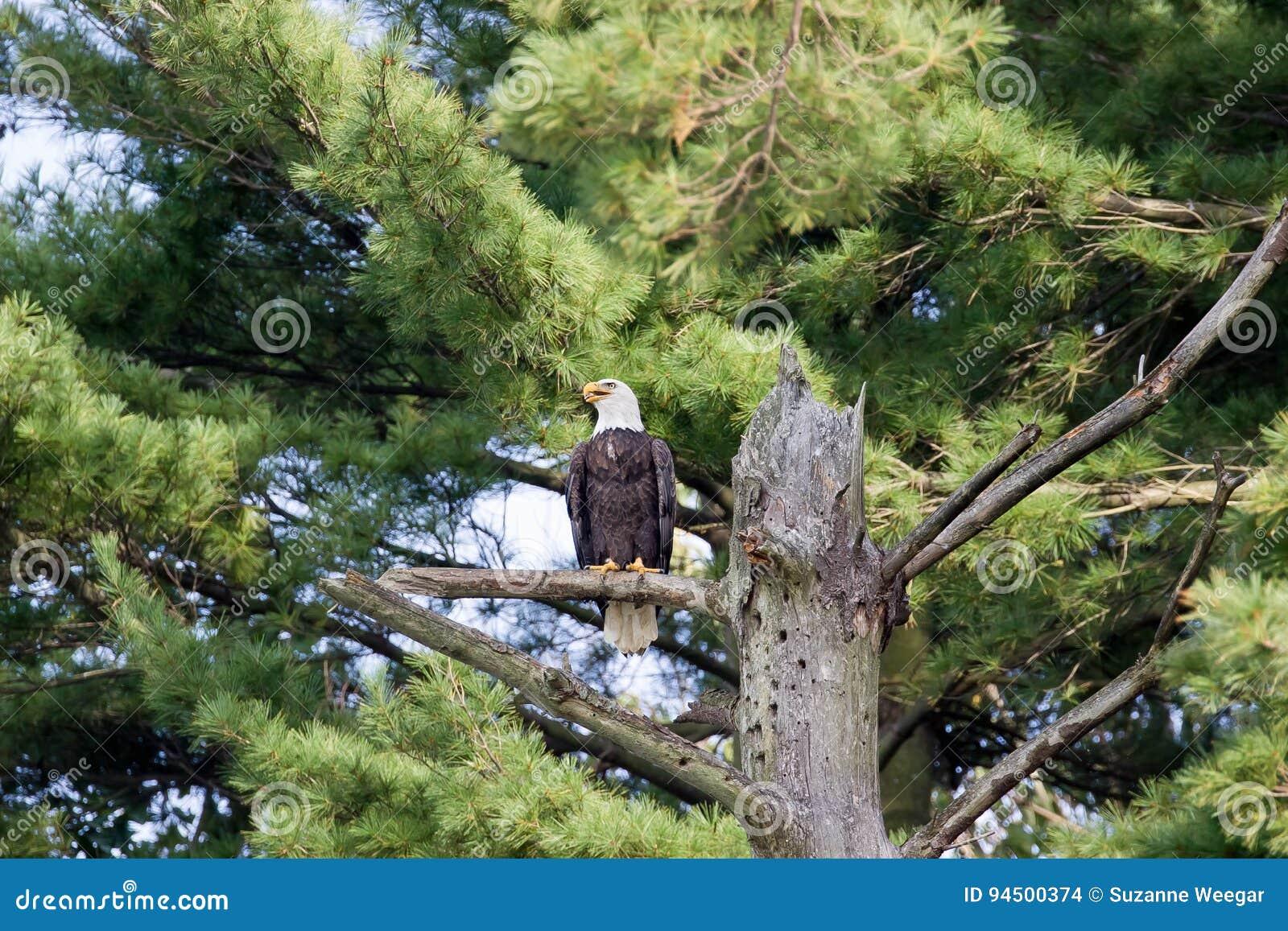Eagle Ohio chauve