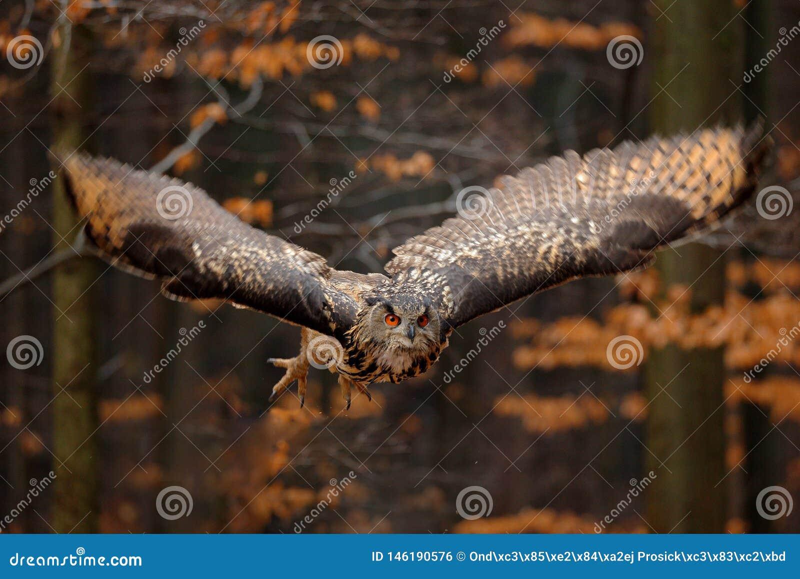 Eagle Owl euro-asi?tico, bub?o do bub?o, com asas abertas em voo, habitat da floresta no fundo, ?rvores alaranjadas do outono Cen