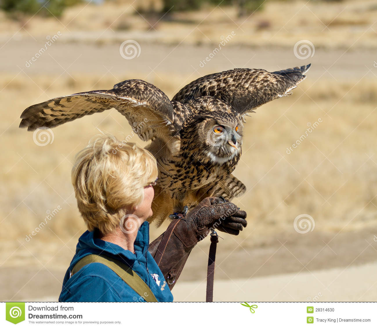 Eagle Owl on a glove looking ready.