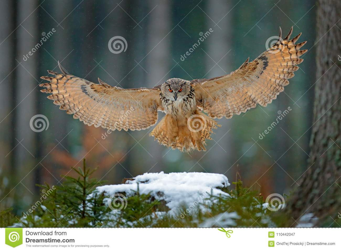 Eagle Owl Landing On Snowy Tree Stump In Forest Flying Eagle Owl