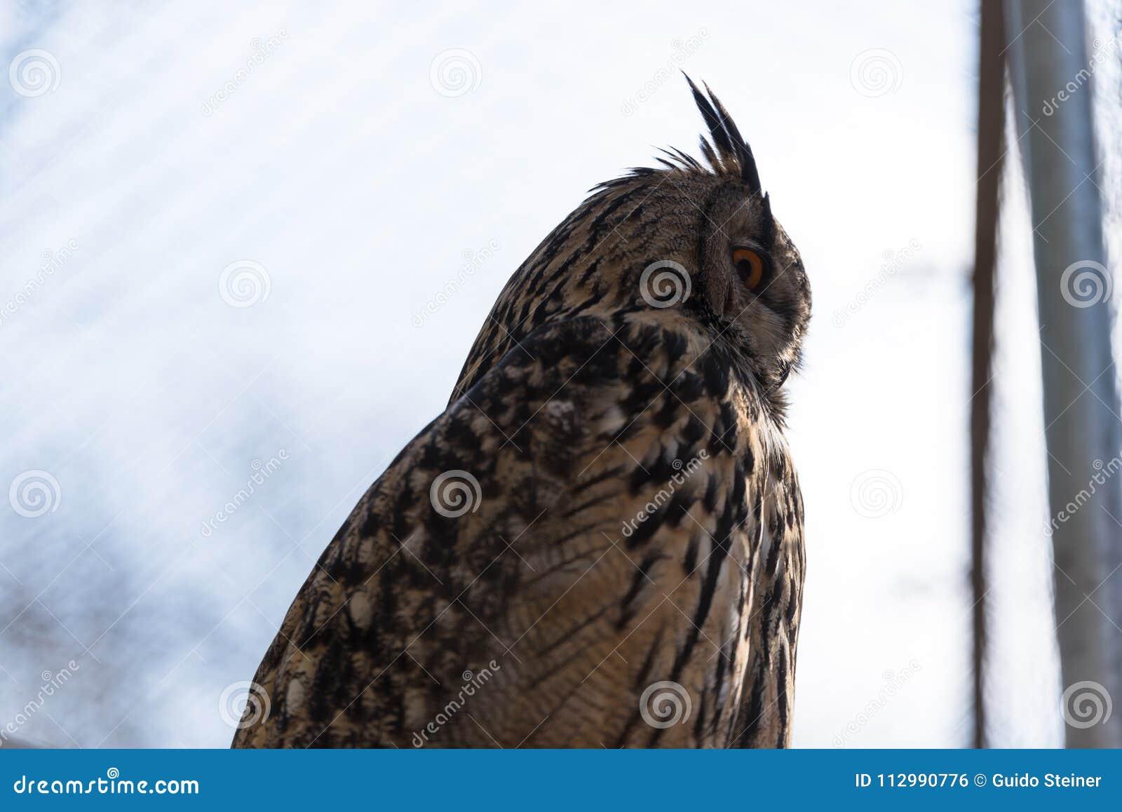 A eagle owl