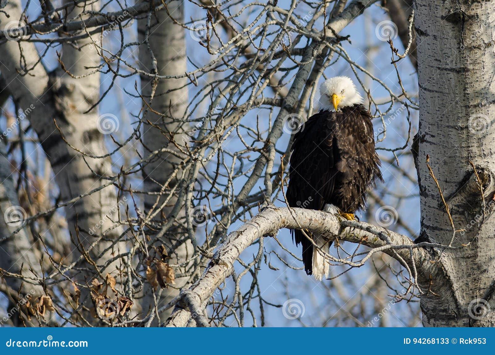 Eagle Perched High chauve dans l arbre d hiver