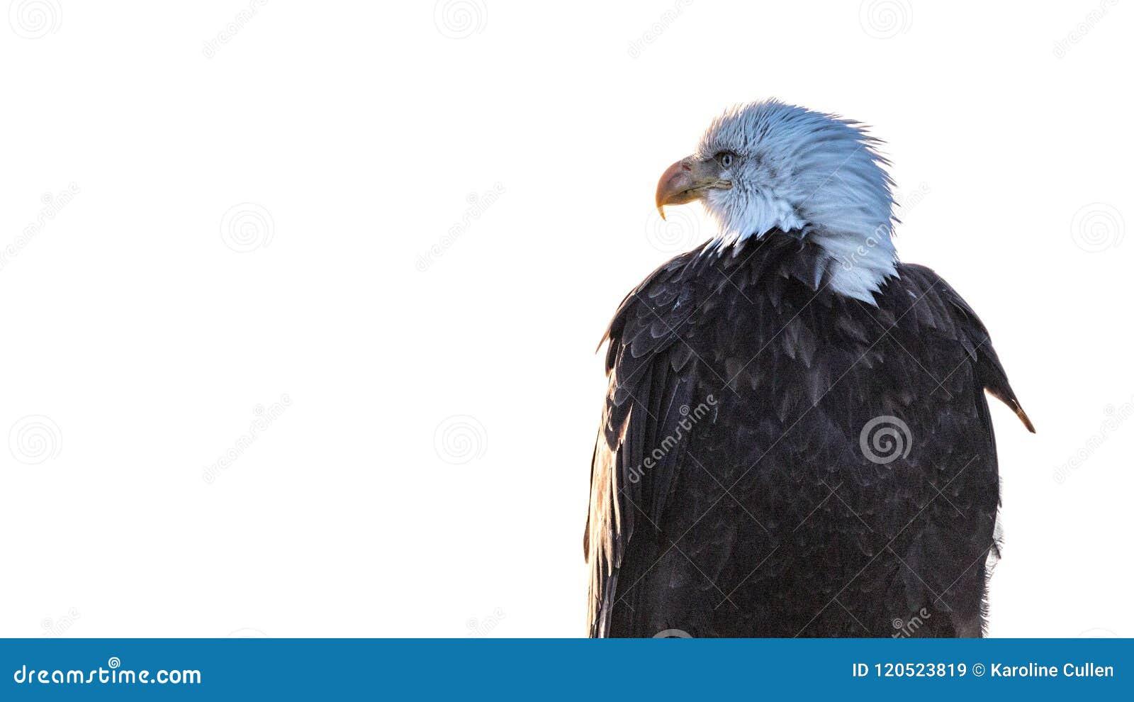 Eagle Profile Portrait calvo su bianco