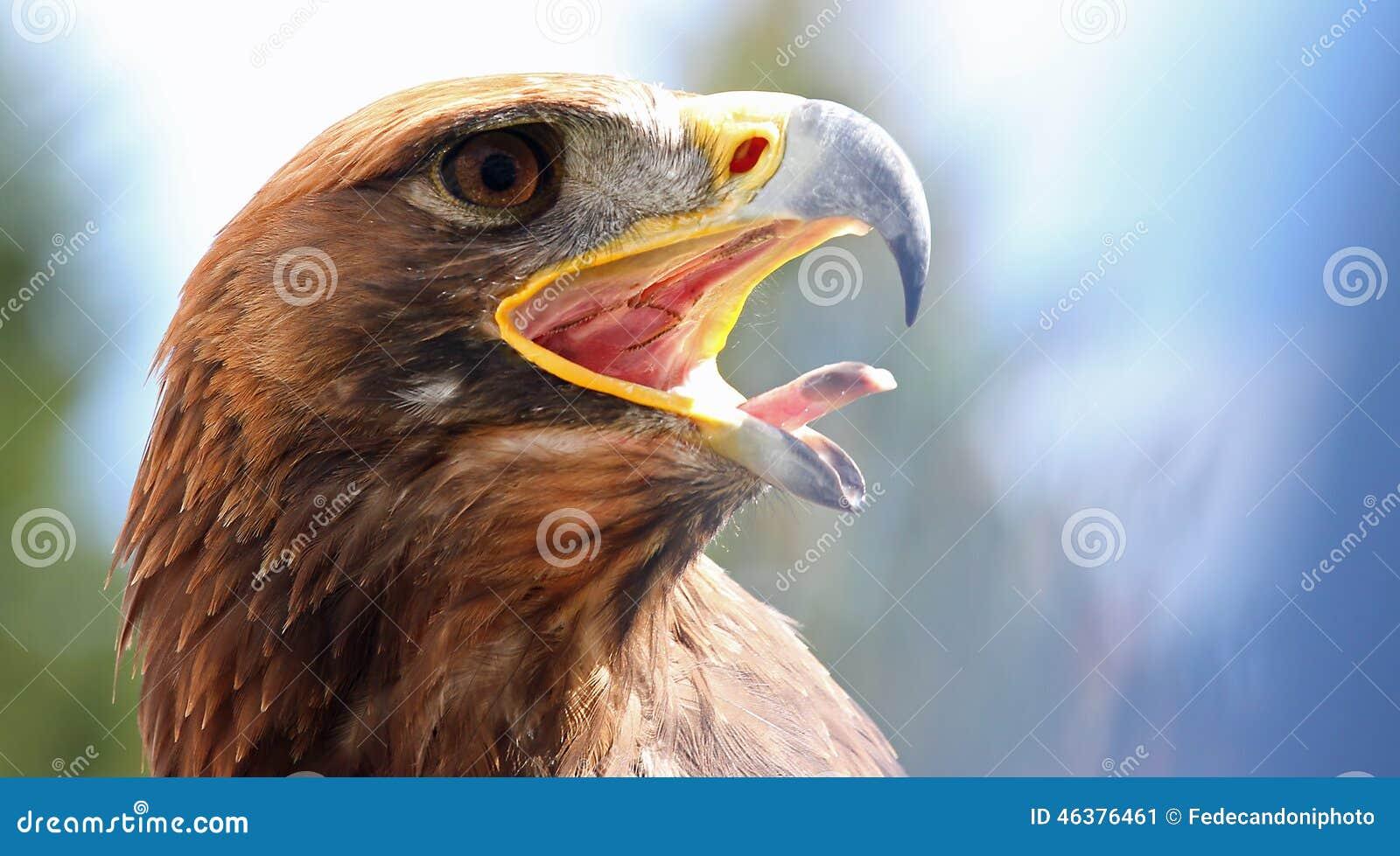 Eagle puissant avec son bec ouvert