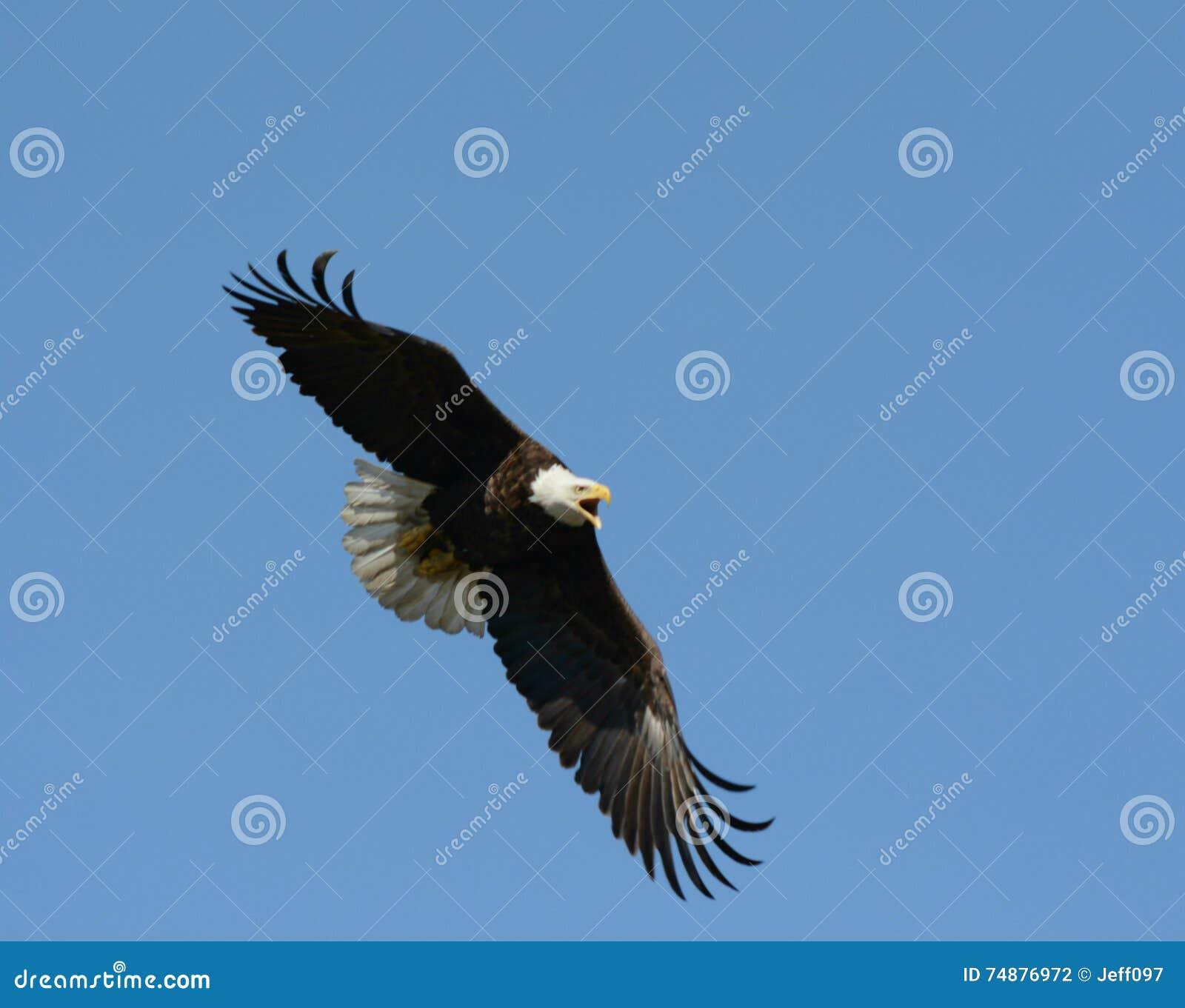 Eagle In Rapid Flight calvo gritando