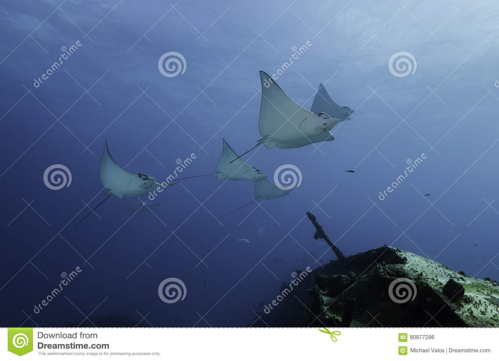 Eagle Rays Mexico