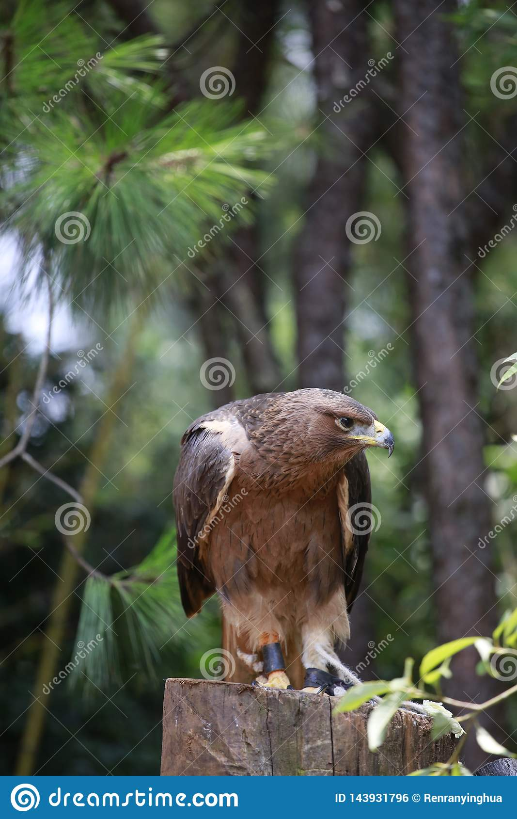 The eagle is a small raptor. Unlike normal birds, females tend to be larger than males. The eagle is fierce, his mouth is yellow,