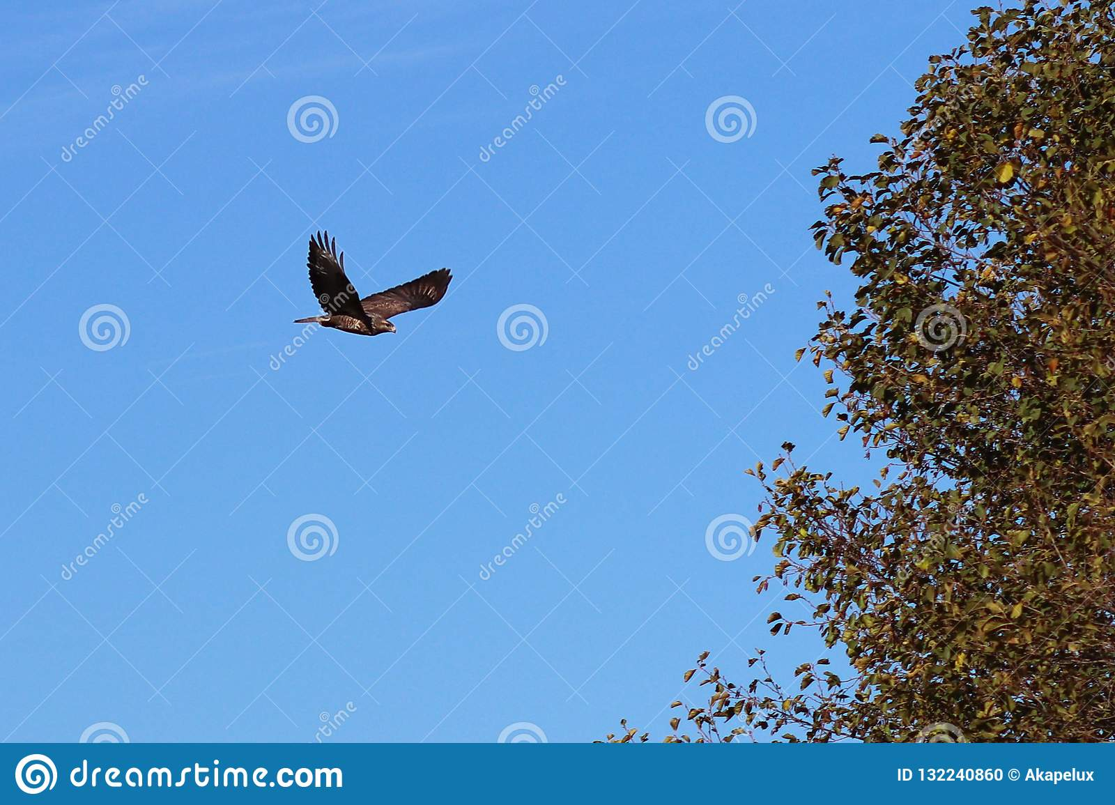 An eagle with spread wings flies against the blue sky near a tree. Flying bird is a symbol of freedom and independence. Hunting