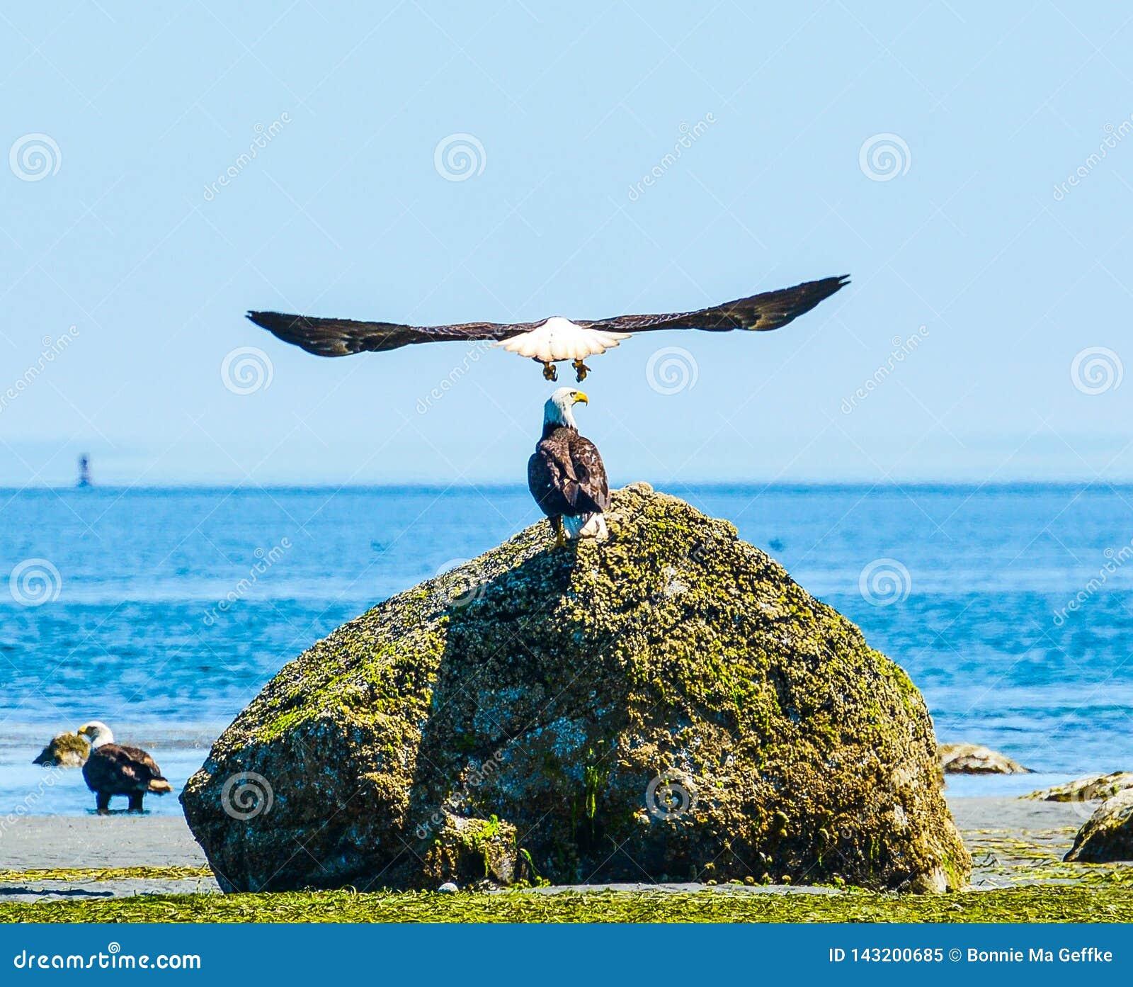 Eagle Spread Wings incrível