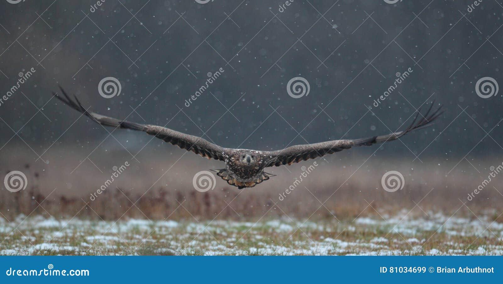 Eagle suivi par blanc