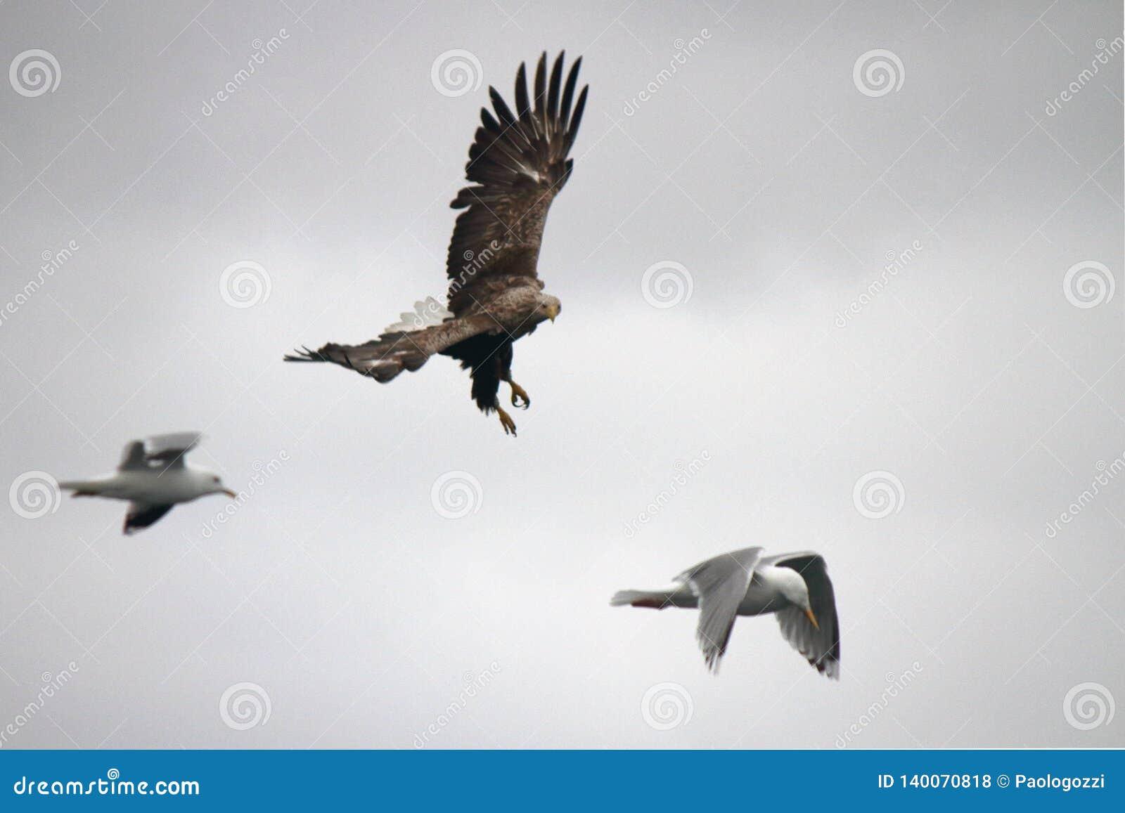 Eagle unika karambol z Seagull