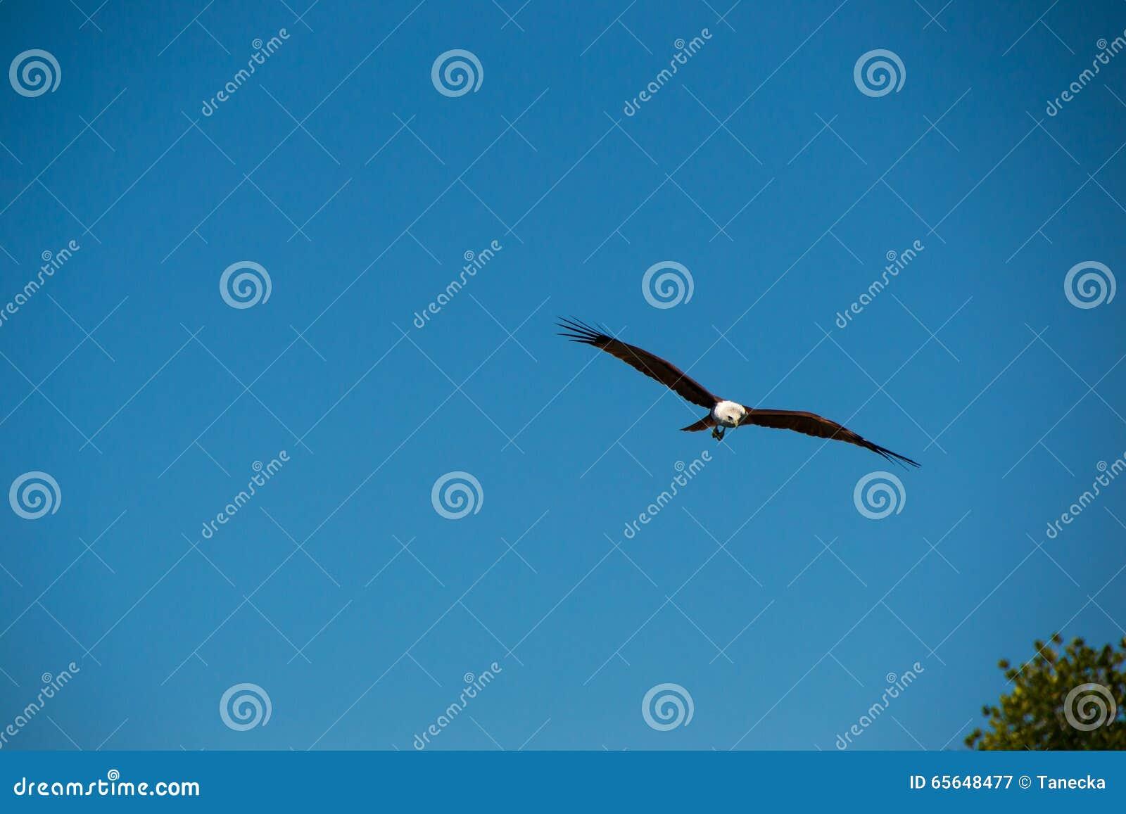 Eagle volant et regardant pour la proie