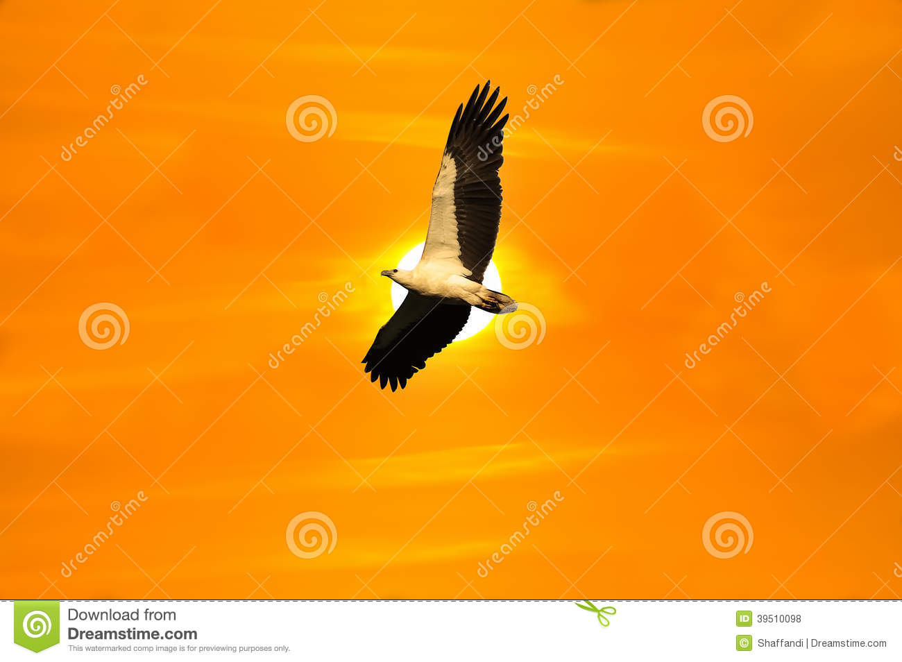Eagle white bellied flying