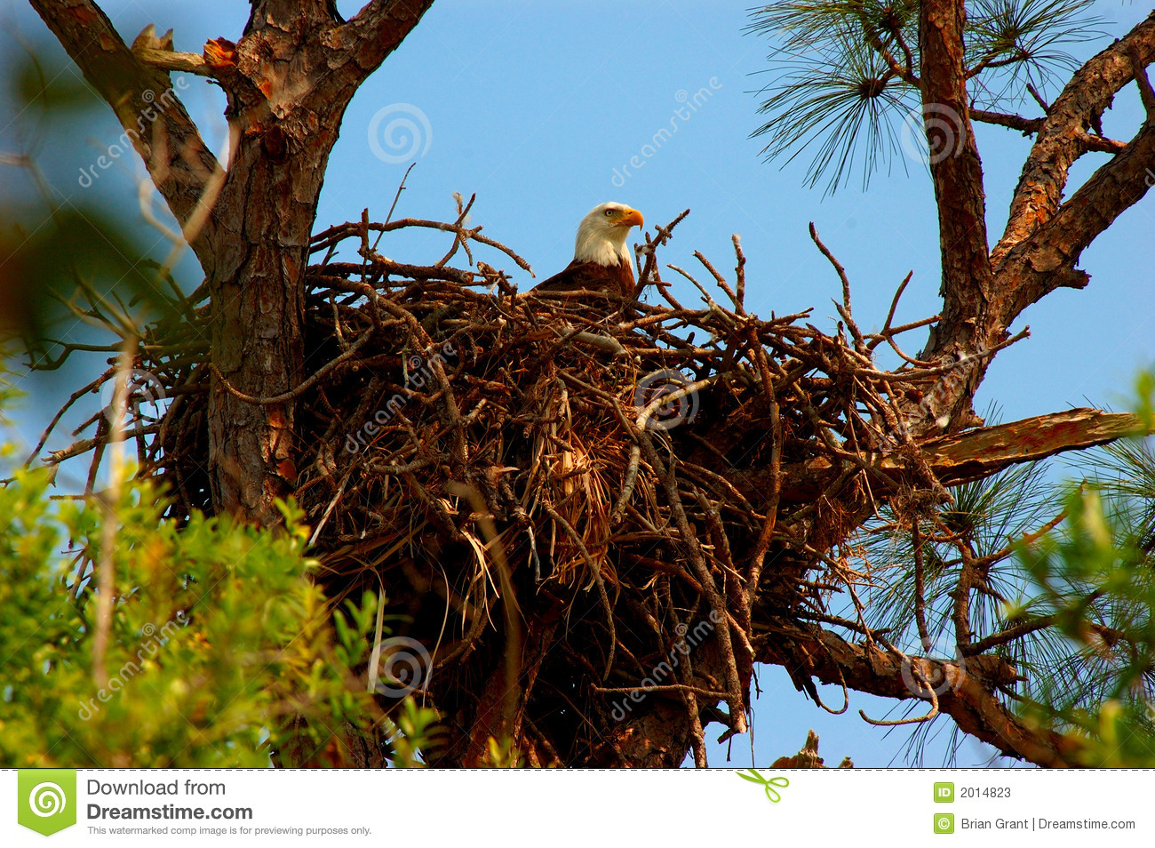 The Eagles Aerie Stock Image Image Of Eagle Incubating 2014823