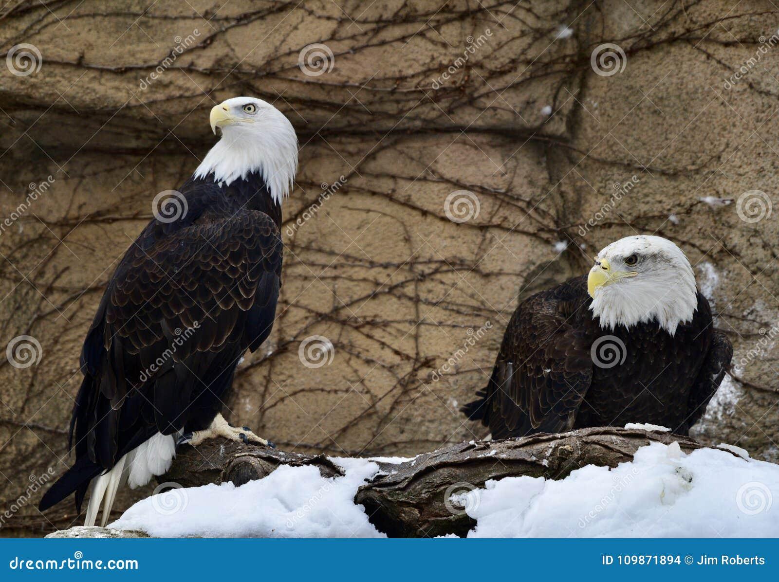 Eagles chauve