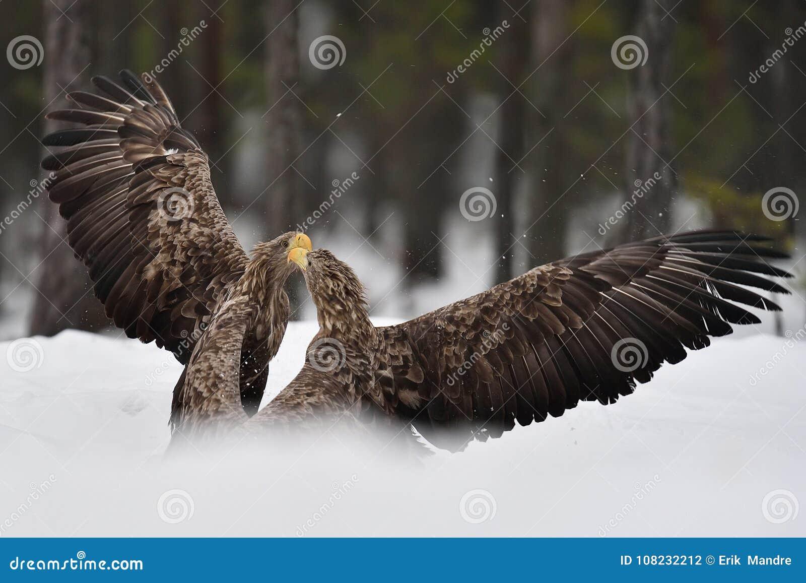 Eagles Fighting. Eagle Fight. Stock Photo - Image of crisp, raptor ...