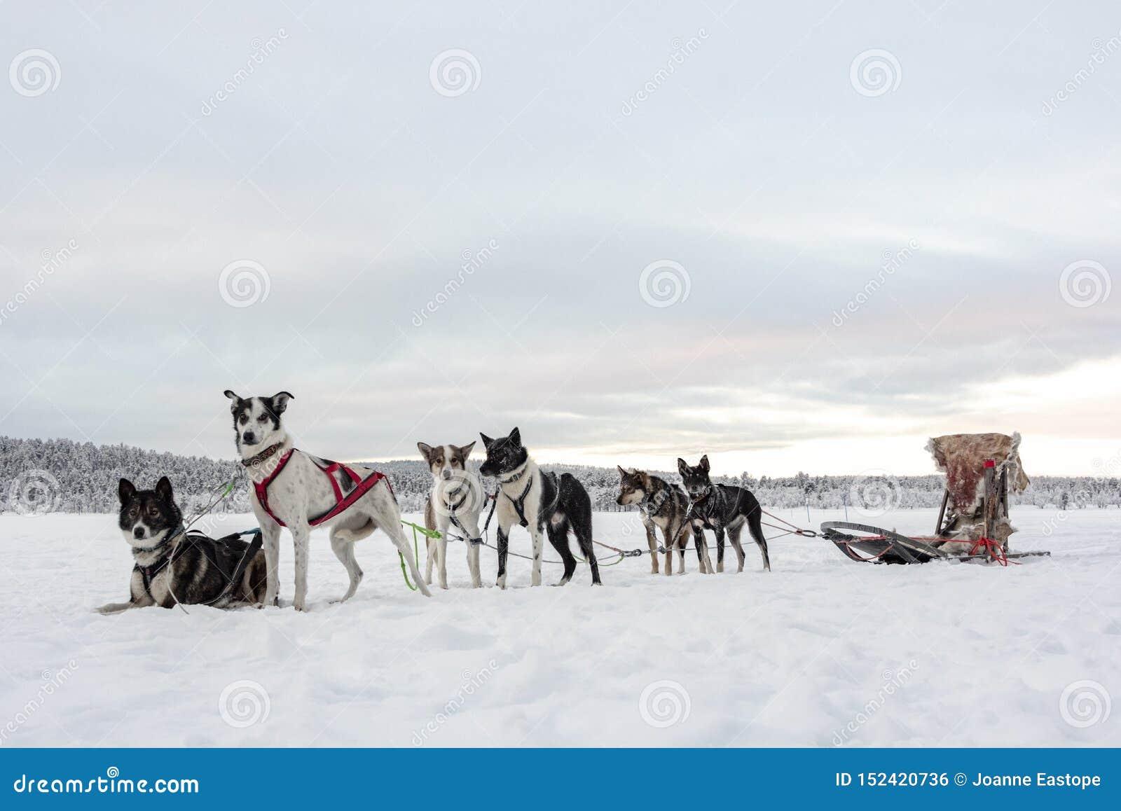 Eam de seis cães de puxar trenós que esperam para correr e puxar um trenó