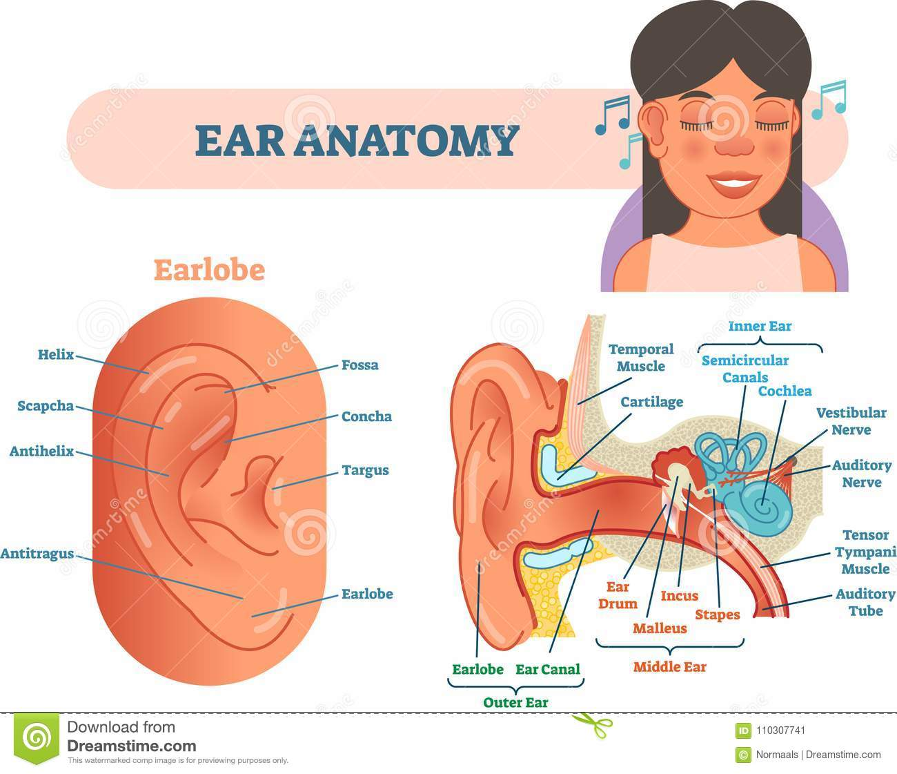 Ear Anatomy Medical Vector Illustration With Outer Middle And Inner