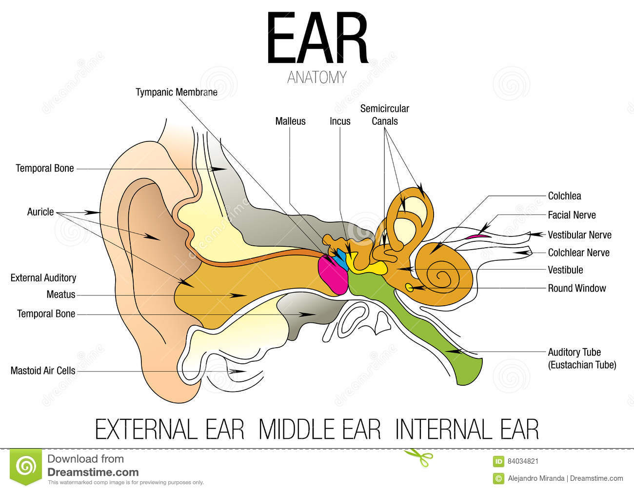 EAR ANATOMY With Parts Name Stock Vector - Illustration of anatomy ...