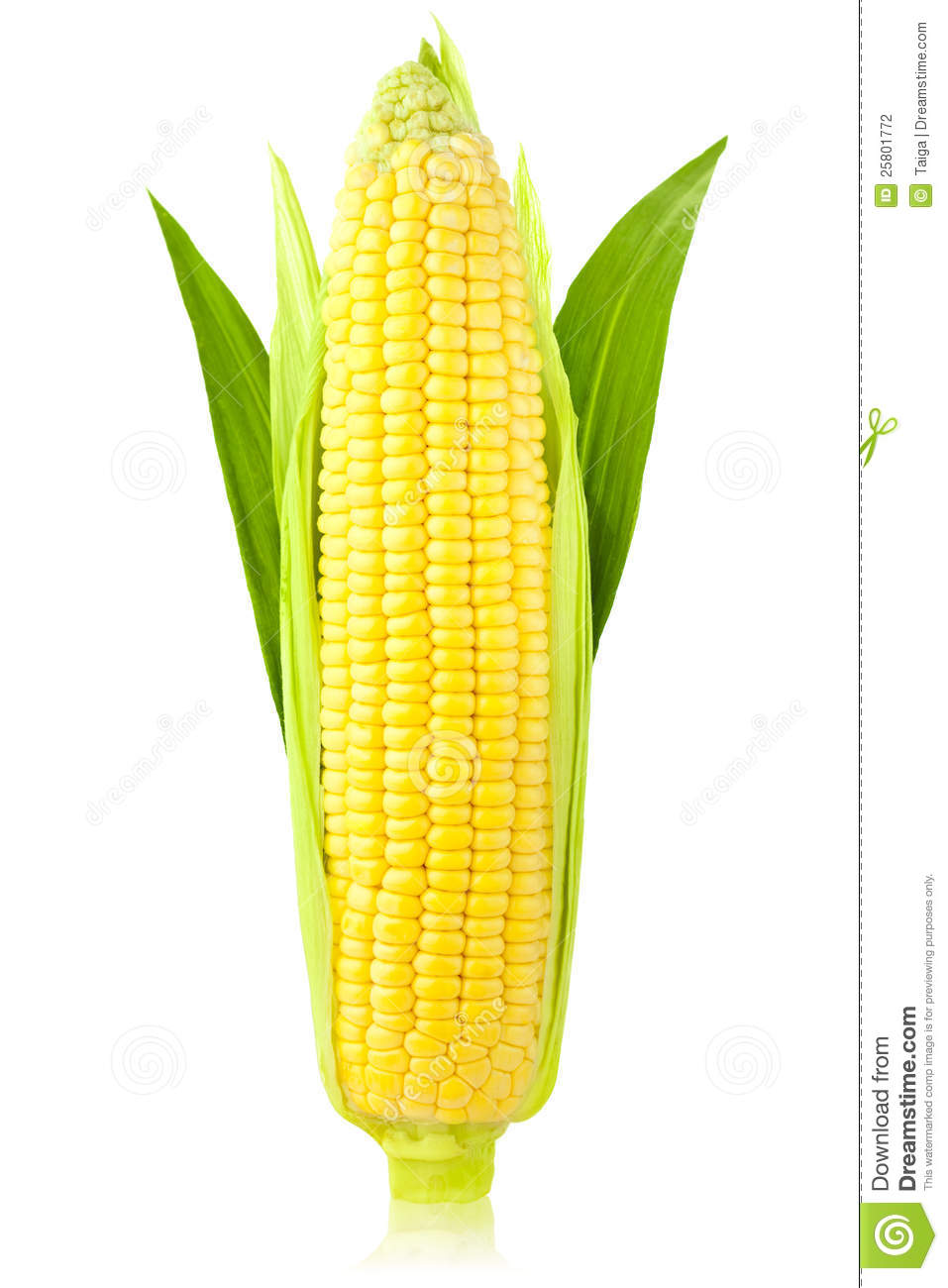 Ear Of Corn / Vertical / Isolated Stock Photography - Image: 25801772