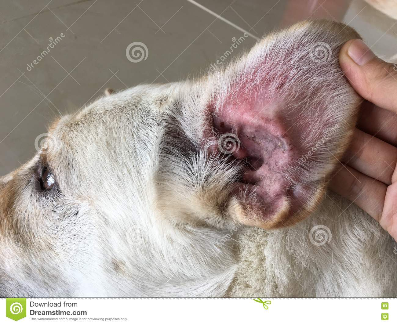 Ear Infection In Dog Stock Image Image Of Bacteria