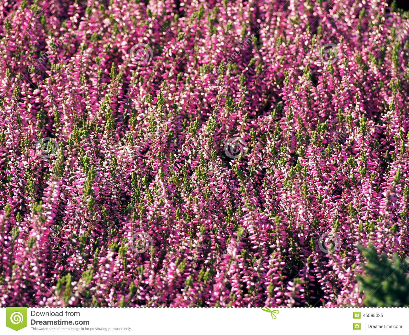 Early Autumn Shot Of Pink Heather Flowers Stock Image Image Of
