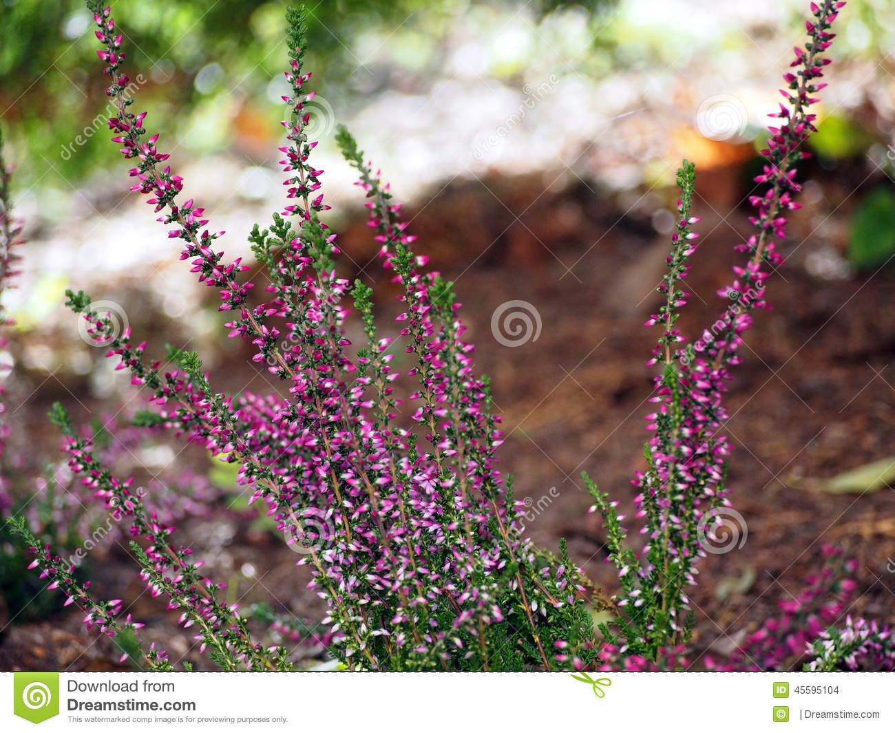 Early Autumn Shot Of Pink Heather Flowers Stock Photo Image Of