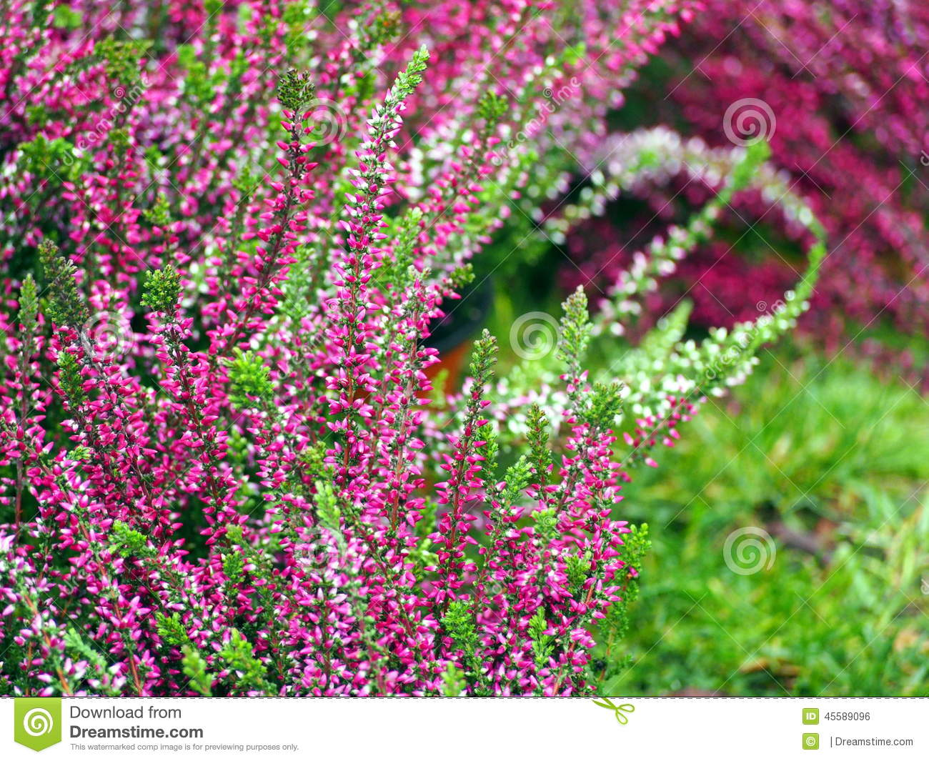 Early Autumn Shot Of Pink And White Heather Flowers Stock Photo