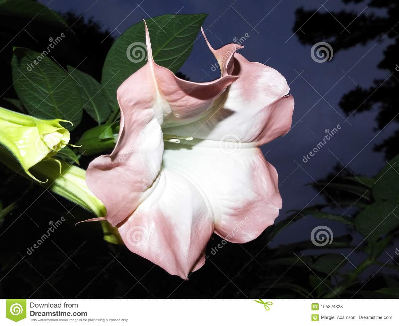 Early Morning Angel Trumpet Flower Stock Image Image Of Flower
