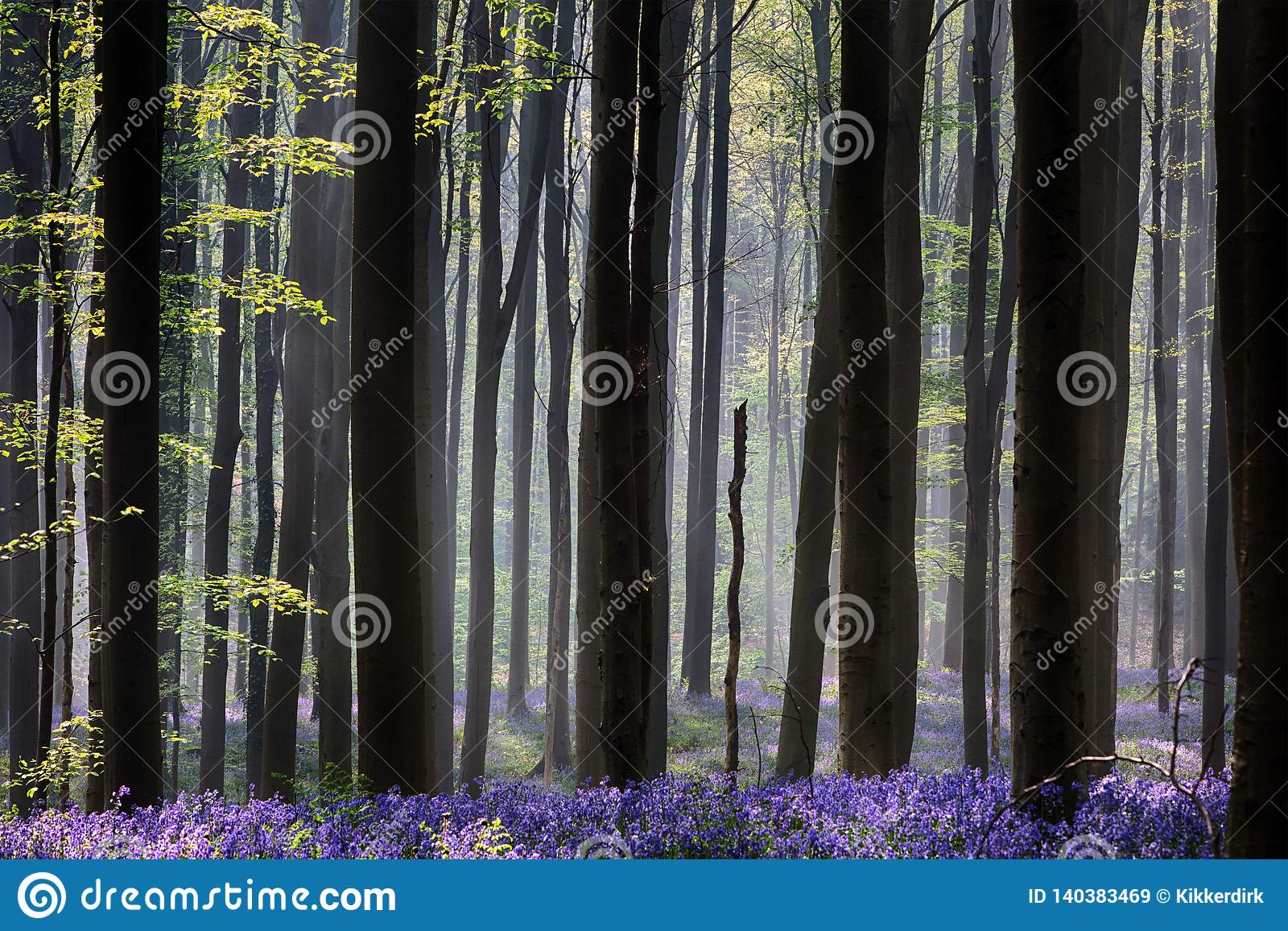 Early morning first sun light awakening the spring forest covered with violet bluebell wild flowers