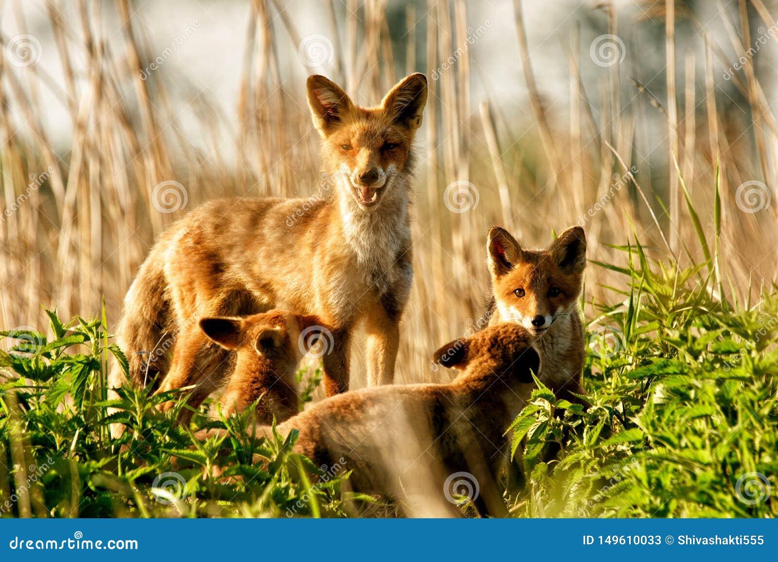 fox chubs