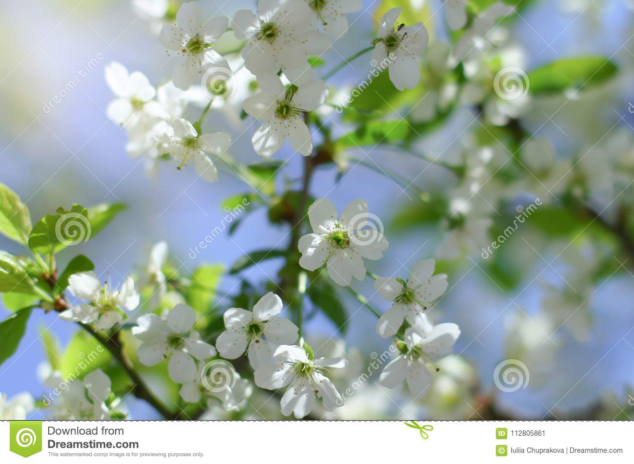 Early Spring Cherry Tree Bllossom With Tender White Flowers Stock