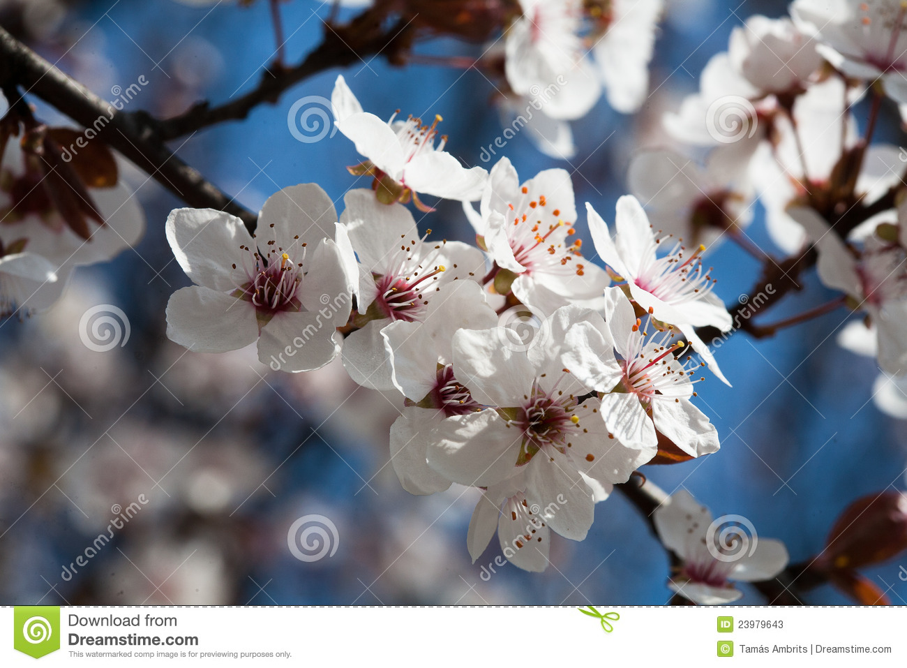 Early Spring Flowering Trees Stock Image Image Of Natural Buds