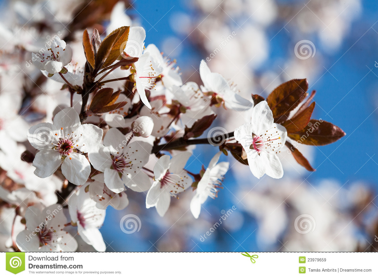 Early Spring Flowering Trees Stock Image Image Of Color White
