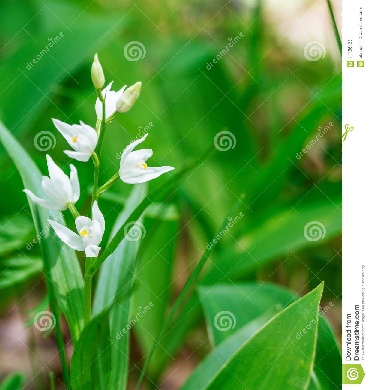 Early Spring Forest White Flowers Stock Image Image Of Nature