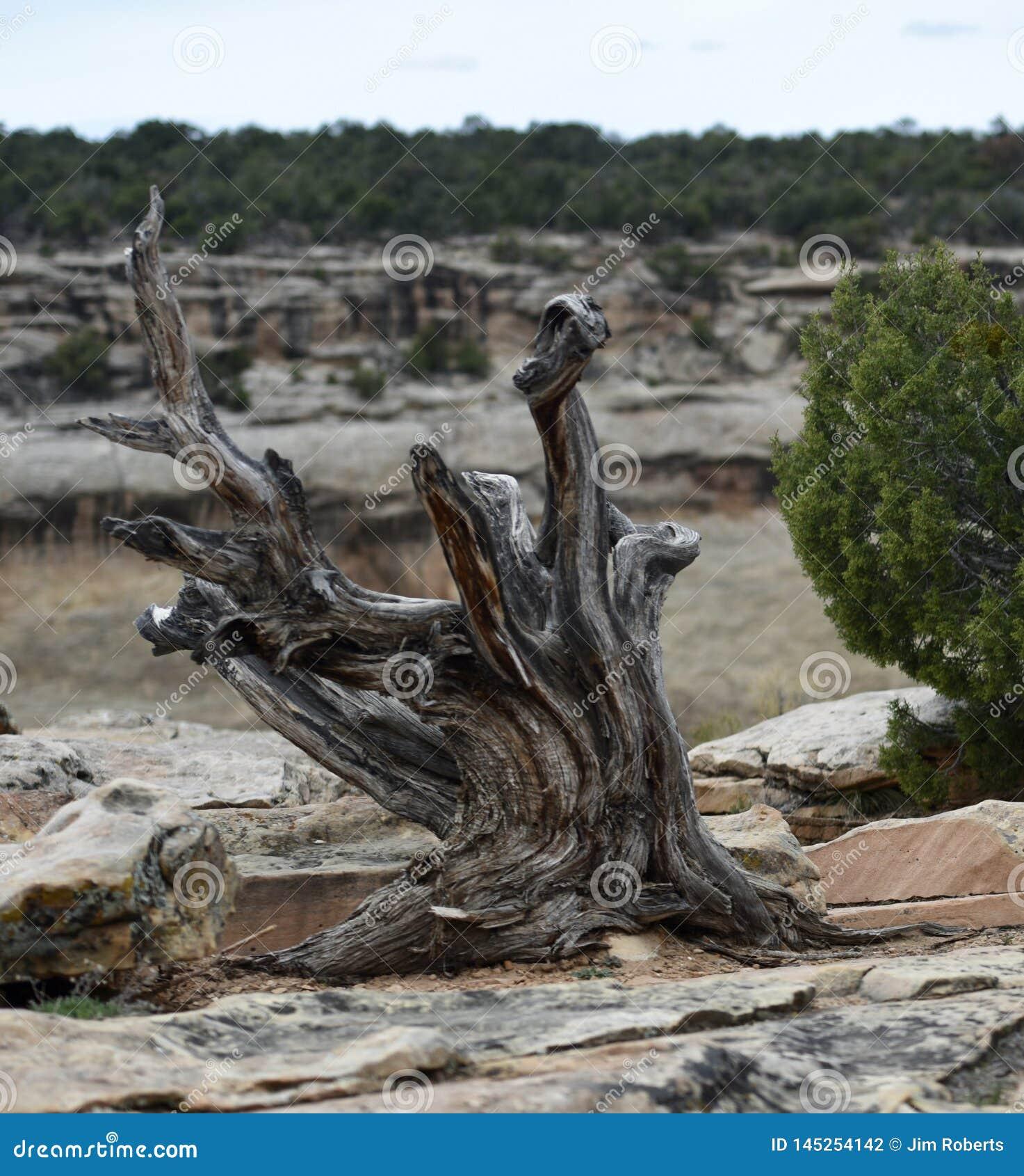 Dead Common Juniper Tree