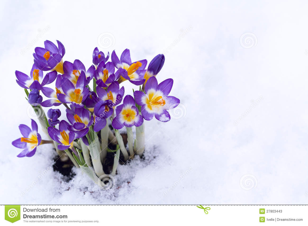 Early Spring Purple Crocus In Snow Stock Image - Image of ...