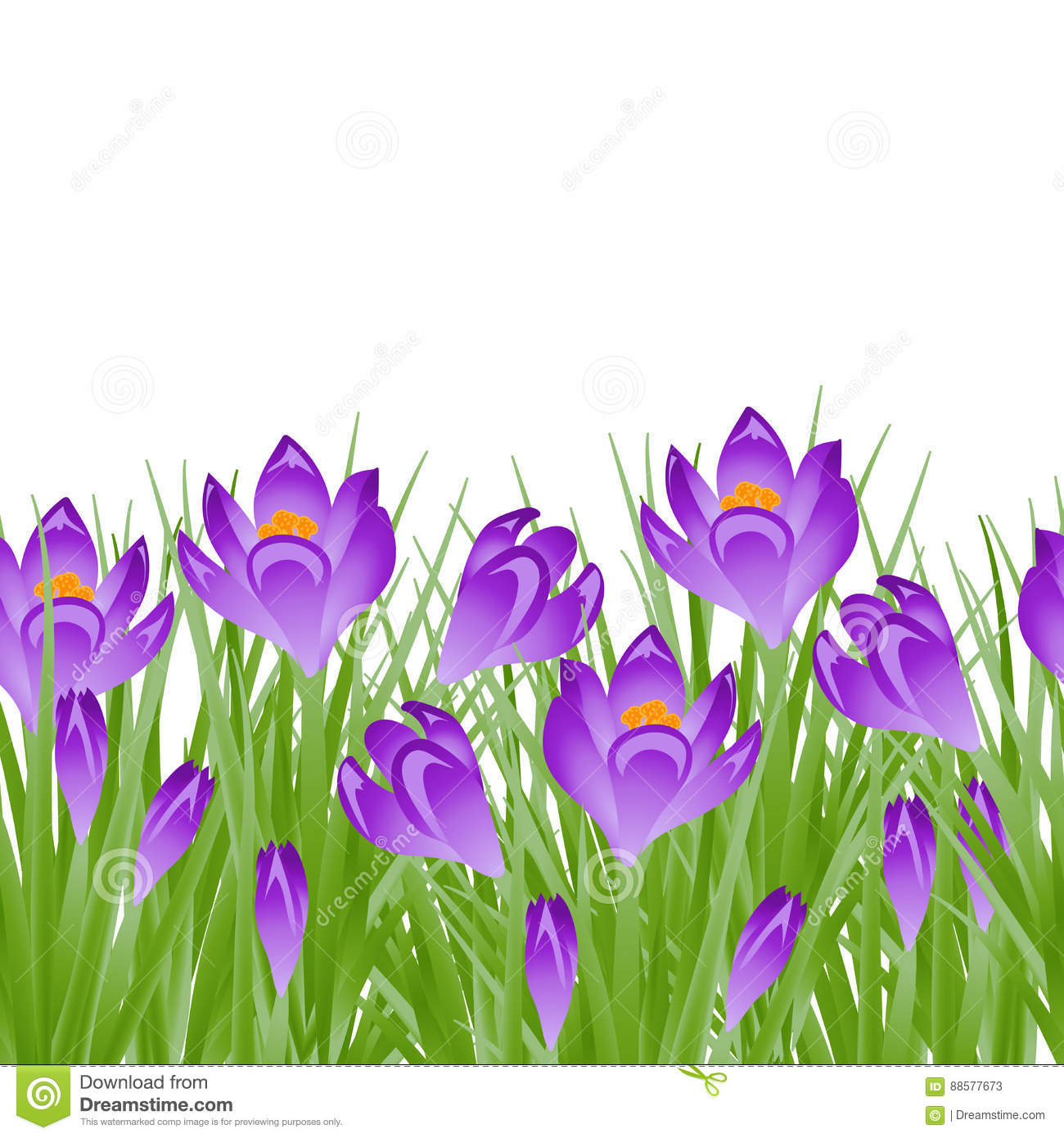 Early Spring Purple Flower Crocus For Easter On White Background