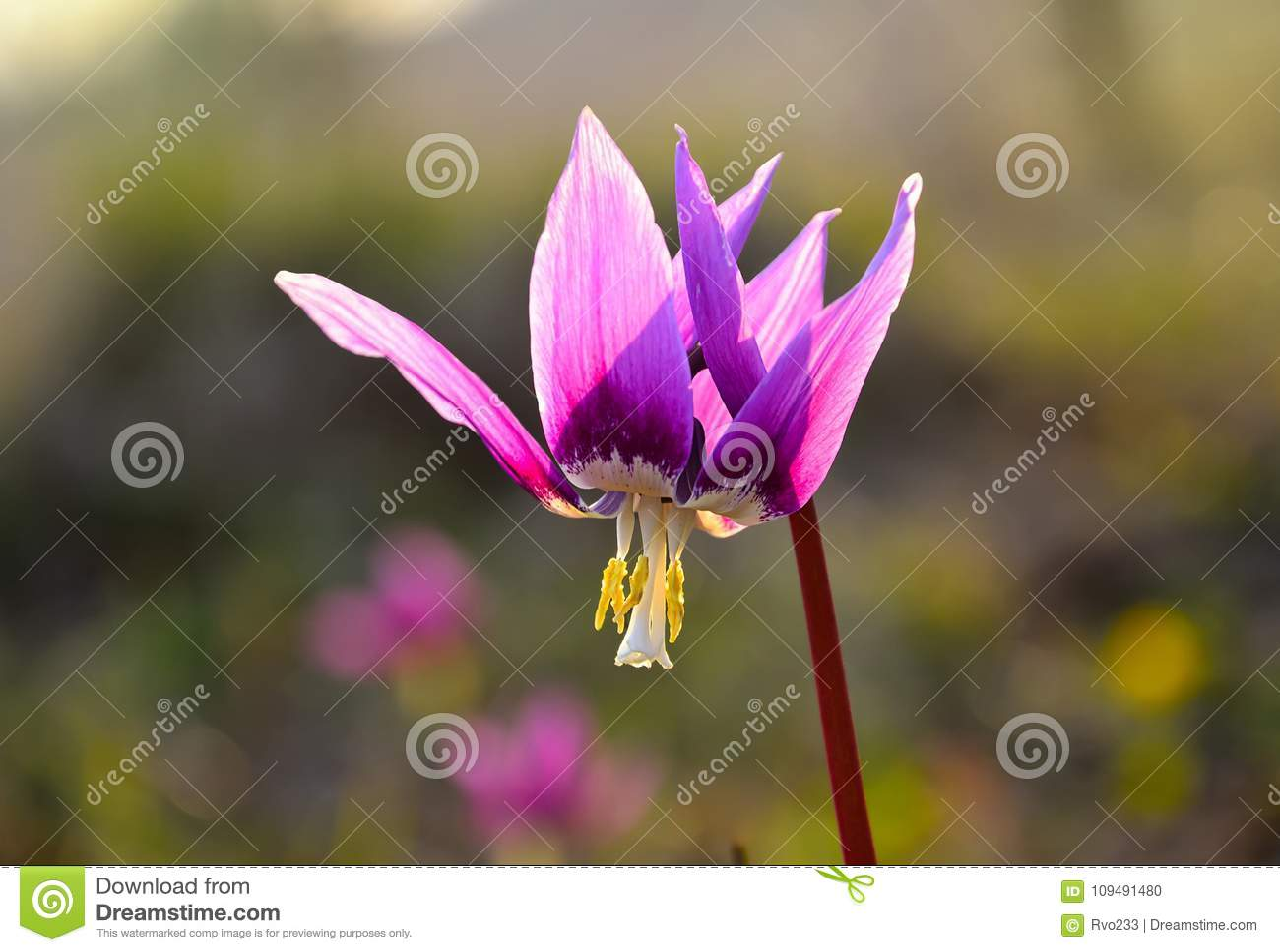 Early Spring Purple Flower Erythronium Sibiricum Close Up Stock