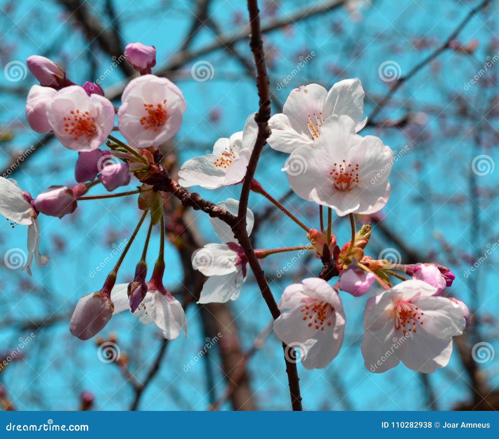 Early Spring Sakura Flowers Cherry Blossom Japan Stock Photo