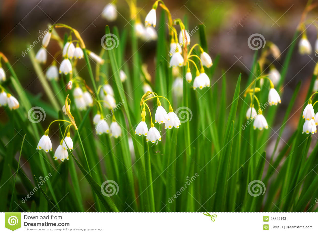 Early spring snowflake flowers in march leucojum vernum group in a early spring snowflake flowers in march leucojum vernum group in a spring bedding mightylinksfo