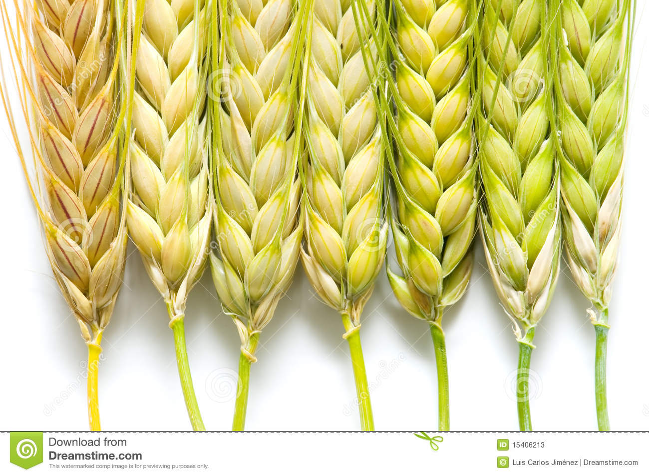 Ears Of Barley Stock Photos Image 15406213