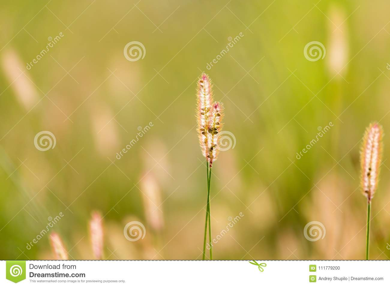 Ears of corn on the grass on the nature