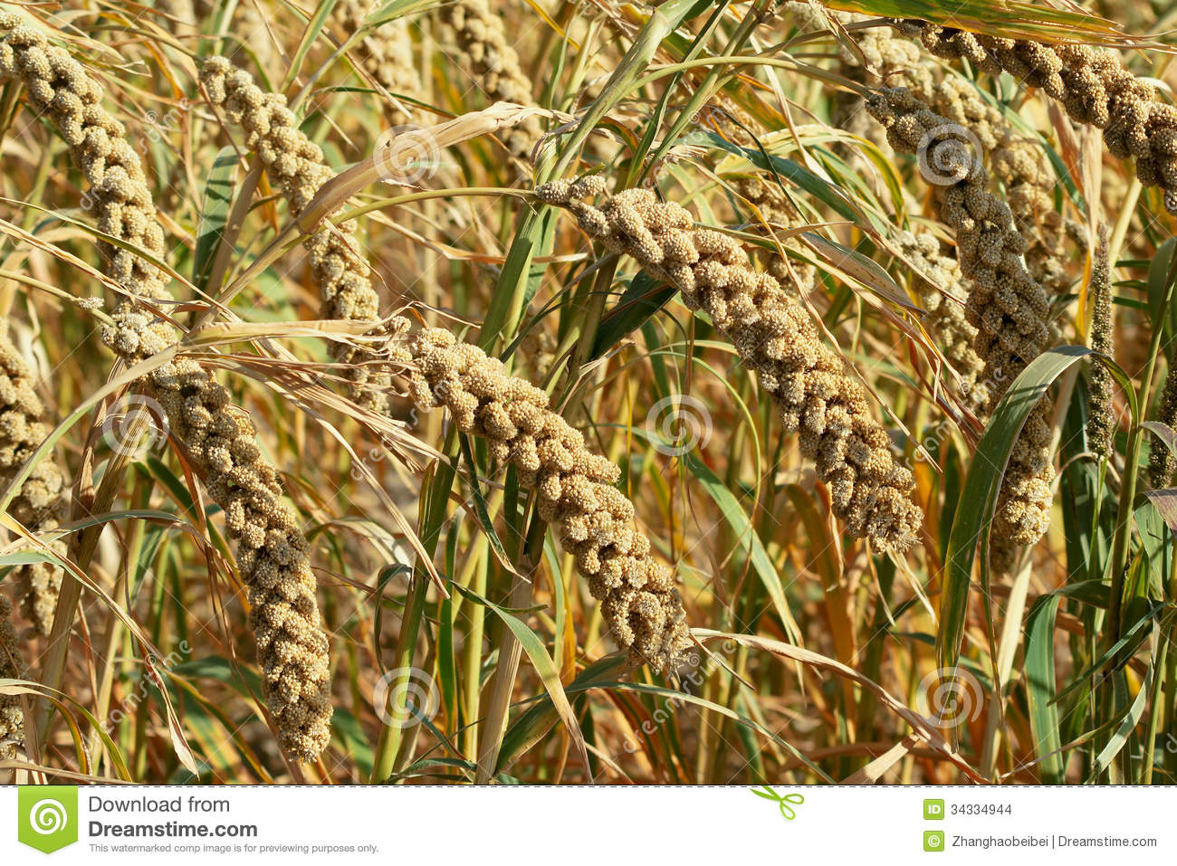 Ears Of Millet Stock Images
