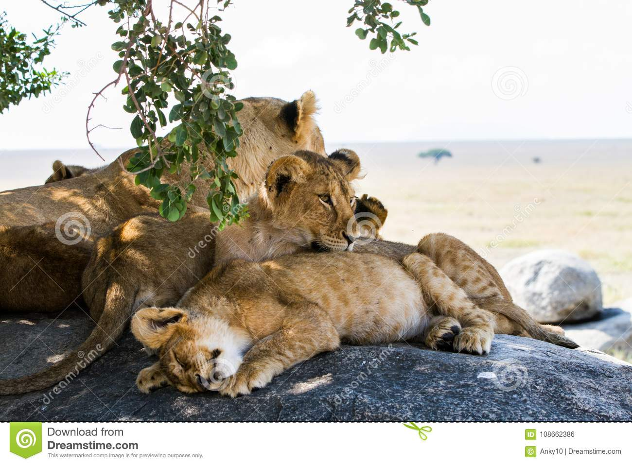 East African lion cubs and lioness in the shade