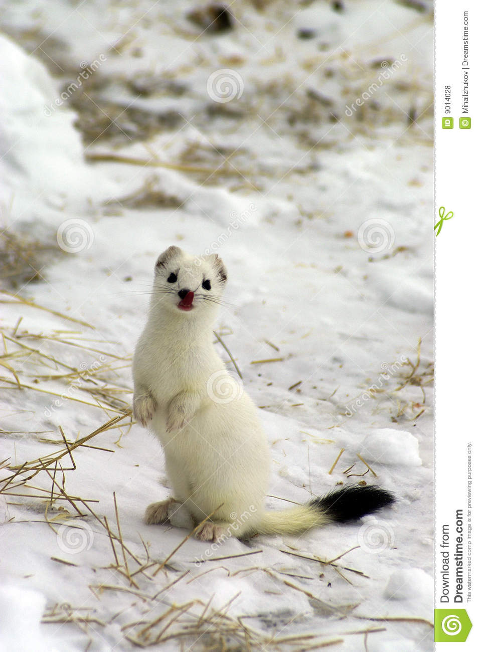 East Siberian Ermine In The Winter. Stock Photo - Image of
