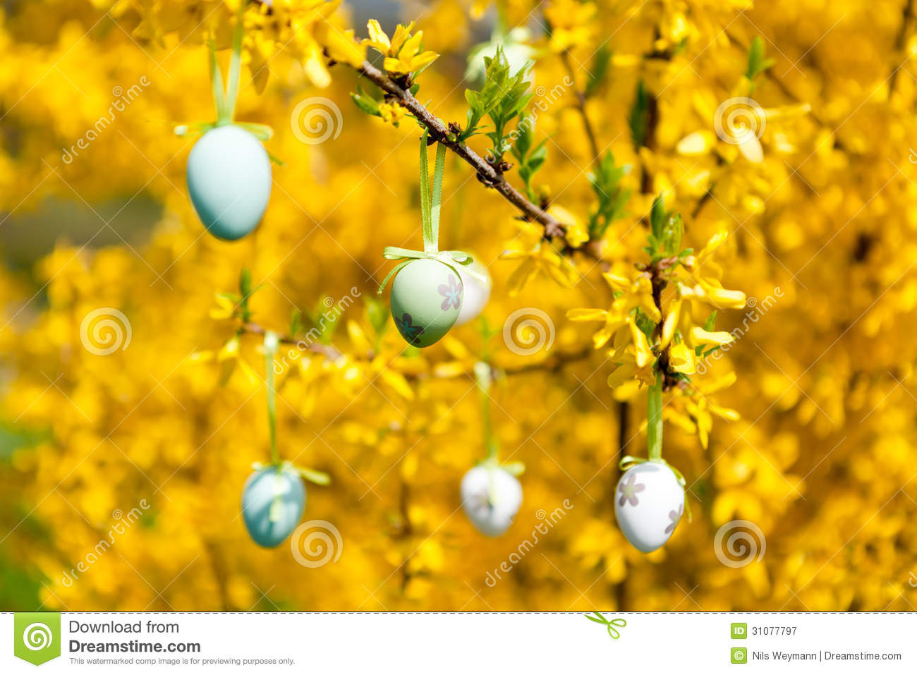 Easter decoration outdoor - Easte Egg And Forsythia Tree In Spring Outdoor Royalty Free Stock Photography