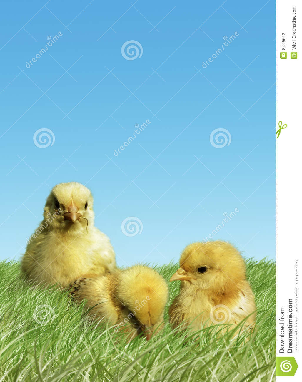 Easter baby chickens